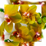 orchid_square_1188_yellow