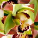 orchid_square_0005_yellow