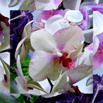 orchid_square_0067_white