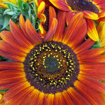 sunflower_0004