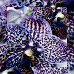 orchid_square_8222_blue