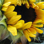 sunflower_0002