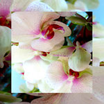 orchid_square_0034_pink
