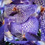orchid_square_0451_blue
