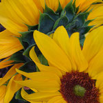 sunflower_0018