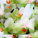 orchid_square_0001_white
