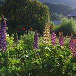 Lupins au jardin