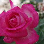 Mignonne, allons voir si la rose........