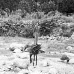 anni '60 Vito Trotta (zu Viti i tappi)  in posizione di equilibrista nel Coriglianeto(a ra jumera)