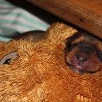 Ersatzmami die is auch cool ;-), Momo hat selber als sie noch trächtig war die Stoffhunde in die Welpenkiste geschleppt und kramt sie gelegntlich von rechts nach links ;-)
