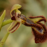 Ophrys speculum, Rivesaltes, 26 avril 2014, Photo J©Tocabens
