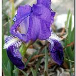 Iris lutescens, Espira de l'Agly (66), J©Tocabens