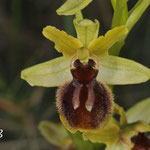 Ophrys virescens, Rivesaltes, avril 2014, photo R. Buscail