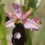 Ophrys magniflora, Trèbes (11), J©Tocabens
