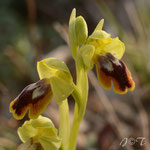 Ophrys forestieriXlutea, Rivesaltes, 27 mars 2014, Photo J©Tocabens