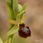 Ophrys aranifera, Rivesaltes, 20 avril 2014, Photo J©Tocabens