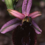 Ophrys catalaunica, Montferrer (66), J©Tocabens