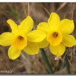 Narcissus assoanus, Espira de l'Agly (66), J©Tocabens