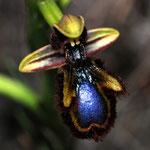 Ophrys ciliata, Baixas (66), J©Tocabens
