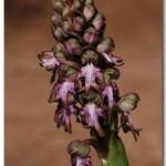 Himantoglossum robertianum, Espira de l'Agly (66), J©Tocabens