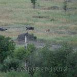 Die Gnus bemerken die Löwin erst als sie nur noch ca. 5 Meter entfernt ist...