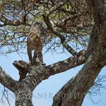 ... klettert der Leopard wieder zurück in den Schatten des Baumes...