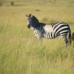 Eine sehr spezielle Zeichnung hat dieses Zebra. Vielleicht von einer Verletzung meinte unser Guide. Doch...
