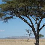 Eine Kurzgeschichte: Ein Leopard döst auf einem Baum im Schatten. Seine Beute, warscheinlich von letzter Nacht, liegt ebenfalls in den Ästen zum Fressen bereit...