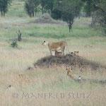 Eine ca. 18-köpfige Löwenfamilie spielt ca. 100 Meter von uns entfernt