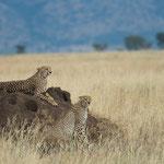 Der Junge Gepard will auch mit aufs Bild.