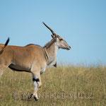 Die seltenen und eher scheuen Eland-Antilopen mal nicht flüchtend.