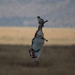 ...Er zerrt so fest am toten Fleisch bis die Gazelle herunter fällt. Er frisst dann am Boden weiter bis er auch genug hat und im hohen Gras verschwindet...