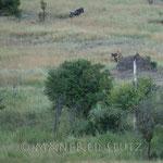 Zu zweit reissen sie dann die Beute zu Boden (leider geschah das ganze hinter dem Termiten-Hügel) und töten sie. Dies war unsere 10. Afrika-Reise aber unsere 1. Beobachtung einer Jagd!