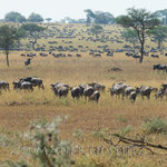 Auch wenn es nicht die riesigen Herden sind... es sind sehr viele Tiere auf einem Fleck.