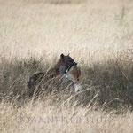 ... Diese schnappt sich natürlich die Thomson Gazelle...