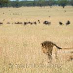 Löwen gibt es auch hier viele.