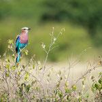 Lilac-Breasted-Roller heisst dieser wunderschöne Vogel auf Englisch. Zu Deutsch: Gabelracke... Englisch gefällt mir besser!!!