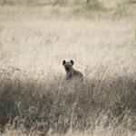 ...Wir haben schon gedacht jetzt komme der Leopard herunter und holt seine Beute wieder auf den Baum. Das hätte tolle Fotos gegeben. Doch dann taucht plötzlich aus dem nichts eine Hyäne auf. Diese Tiere müssen wohl eine sehr gute Nase haben...