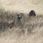 ...Da kommen 2 Paviane vorbei und sehen die Beute und den Leoparden...