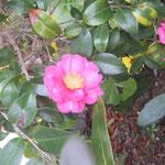 さざんかの花