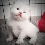 chaton siberien