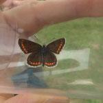 Kleiner Sonnenröschen Bläuling  (Aricia agestis) weiblich