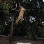 Riesige Kokusnuesse im Botanischen Garten