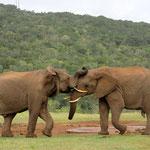 Kämpfende Elefanten im Addo Elephant National Park