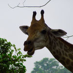 Singapore Zoo: Giraffe