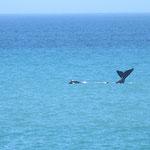 Wal-Beobachtungen direkt von der Küste aus in Hermanus