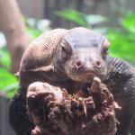 Singapore Zoo: Unser erstes Komodowaran-Baby
