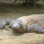 Singapore Zoo: groesserer Komodowaran