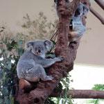 Singapore Zoo: Koalas