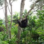 Singapore Zoo: Gibbons
